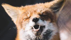 Glücklicher Fuchs