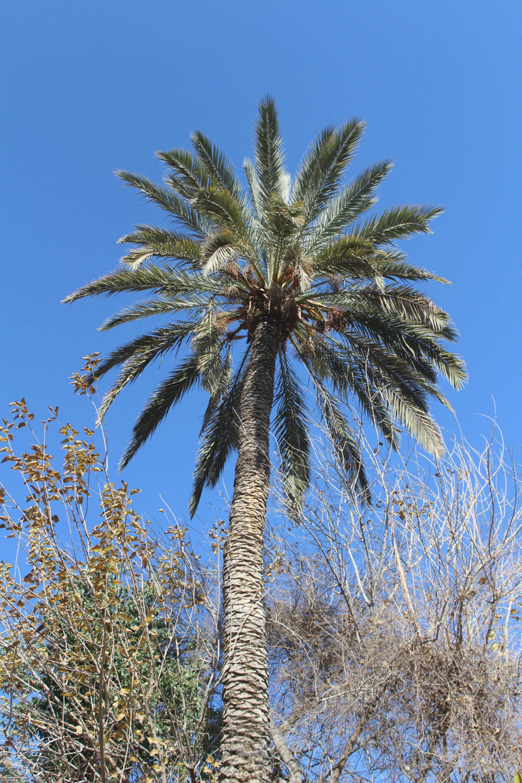 Palme in Marrakesch