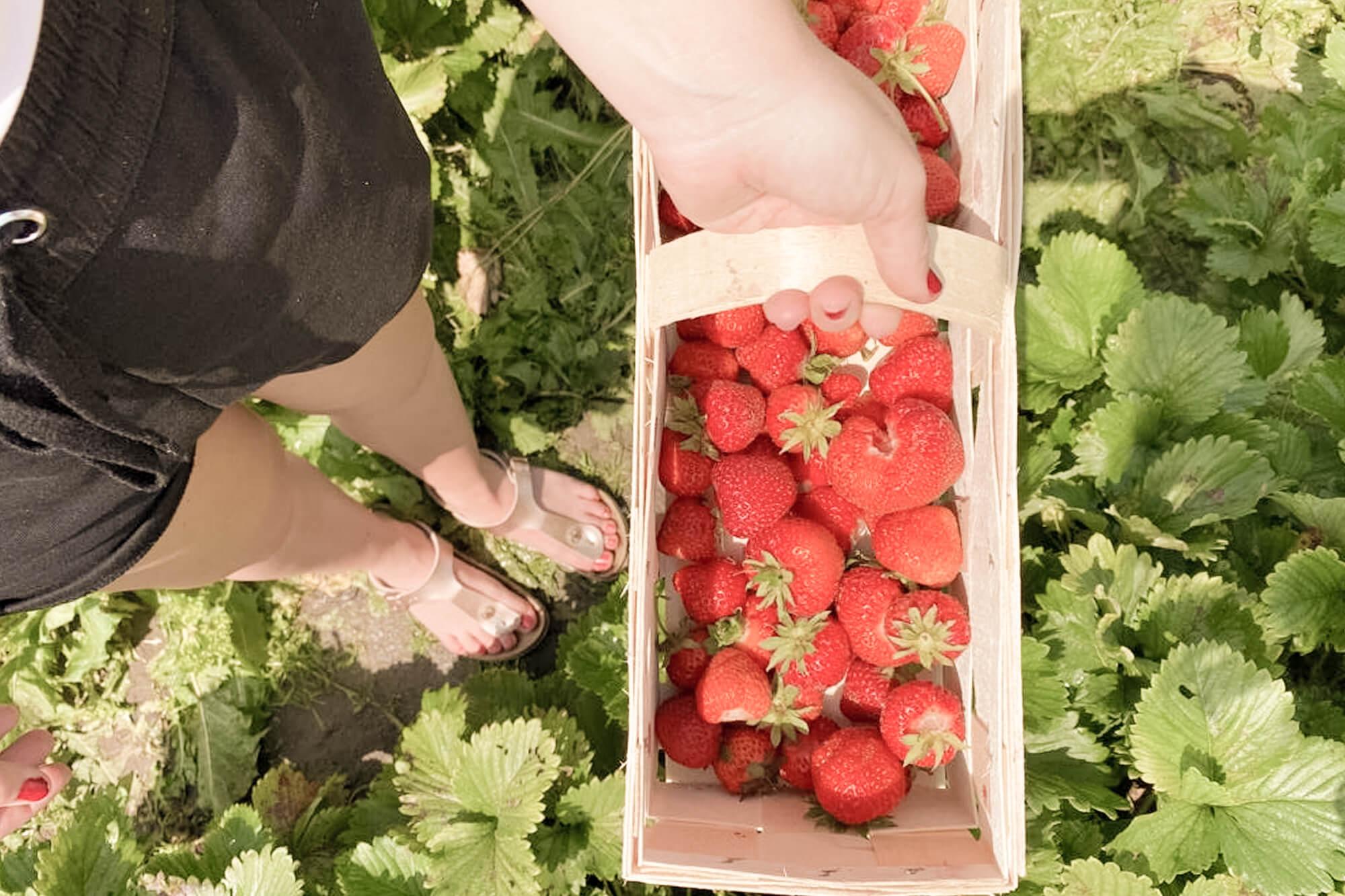 Voller Erntekorb beim Erdbeerpflücken in Berlin