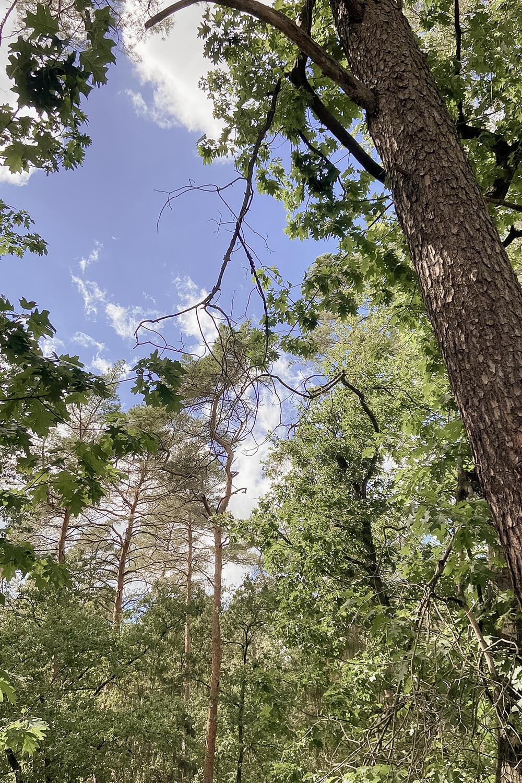 Baumkronen im Barfußpark Beelitz