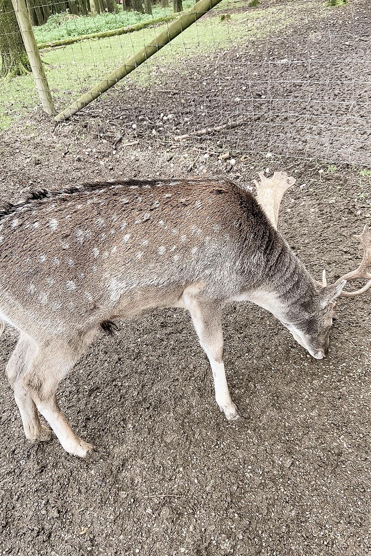 Hirsch beim Fressen im Wildpark Poing