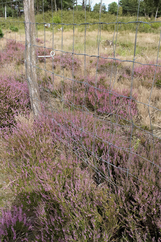 Heideblüte in der Schönower Heide