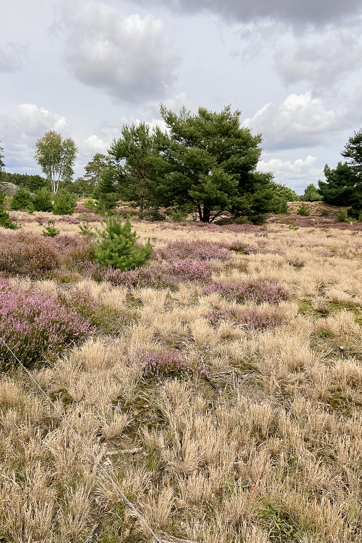Heidelandschaft in der Schönower Heide
