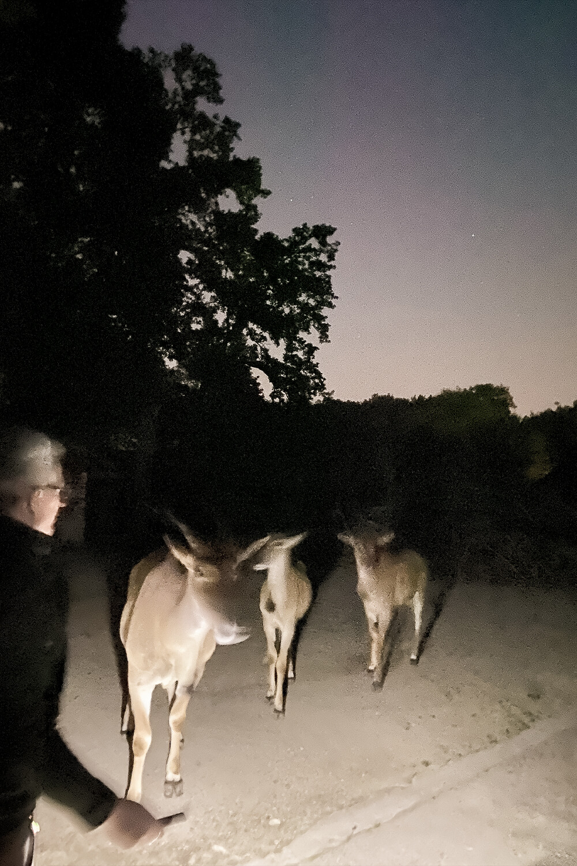 Antilopen bei Nachtführung im Tierpark Hamm