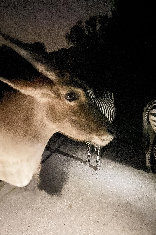 Antilopen und Zebras im Tierpark Hamm