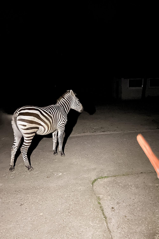 Zebra füttern bei Nachtführung im Tierpark Hamm